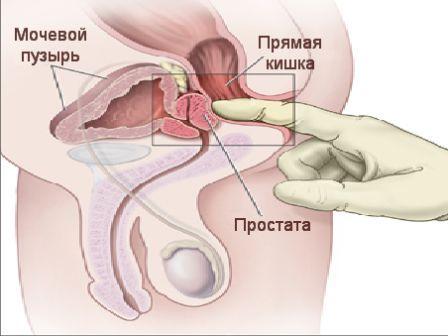 расположение мужской железы