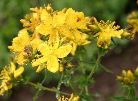 цветы Hypericum