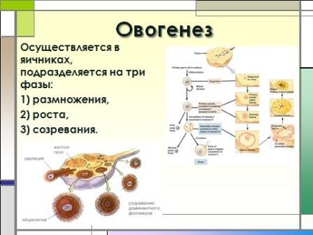инстраграма созревания женской половой клетки