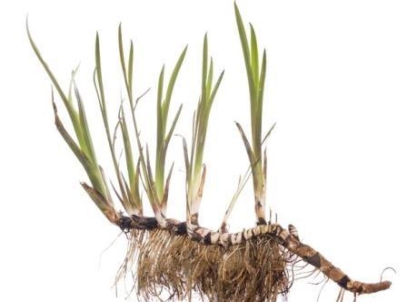 растение аира скорнем