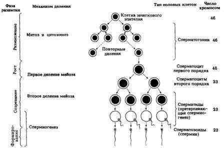 схема развития половых клеток у мужчин