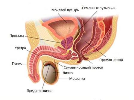 картинка строения мочеполовой системы у мужчин