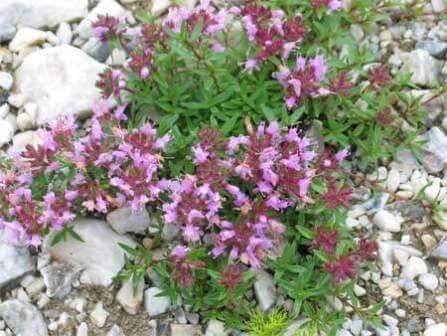 цветы тимьяна