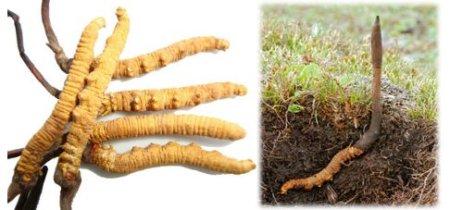 гусеничный гриб в земле и на картинке