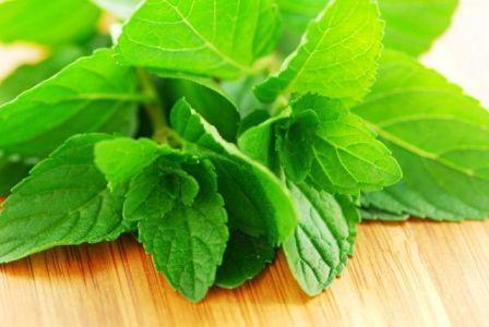 зелёные ветки ментола