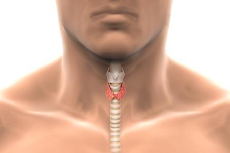 картинка расположения щитовидной железы