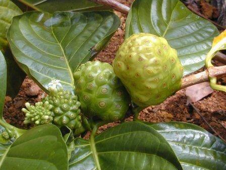 плоды моринды