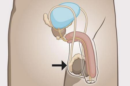 анатомия мужских органов