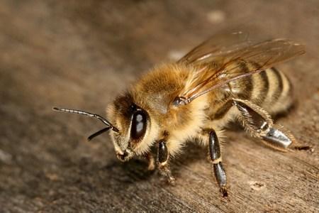 пчёла