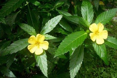 листья Дамианы