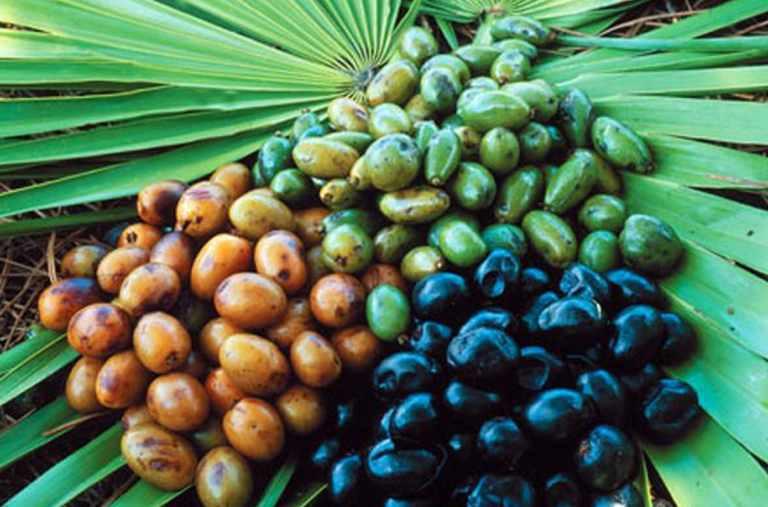 горка плодов карликовой пальмы разного уровня зрелости
