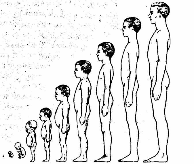 Пропорции фигуры от мальчика до мужчины