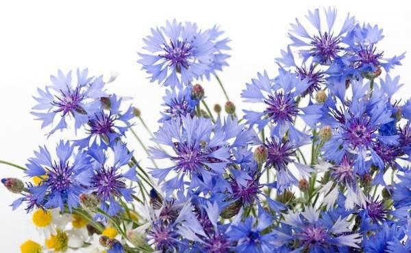 цветы василька