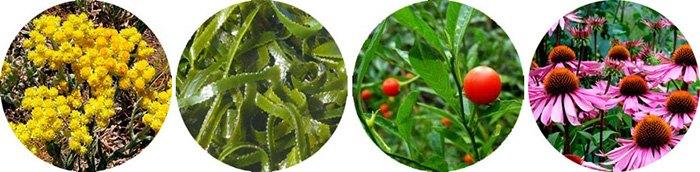 изображения растений, которые входят в состав препарата