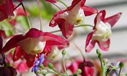 цветы горянки
