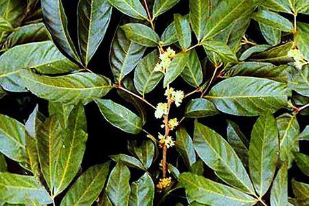 листья муира пуамы