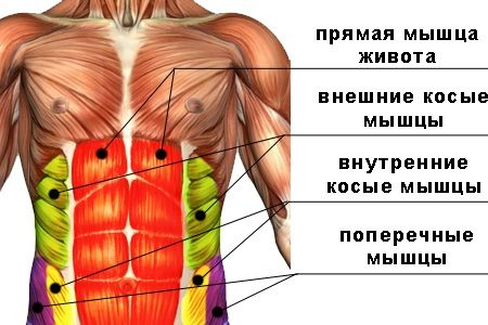 схема расположения типов мышц на животе