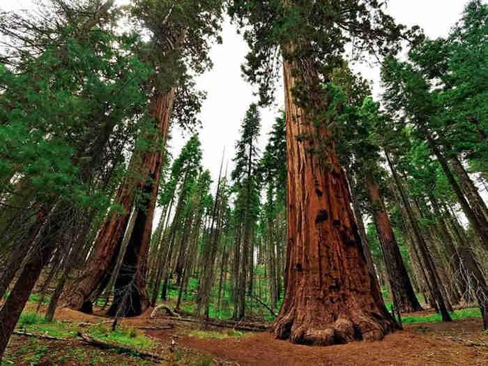 деревья секвои